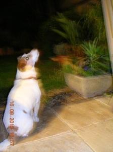 Milo on possum watch