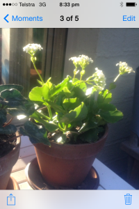 The humble Kalanchoe
