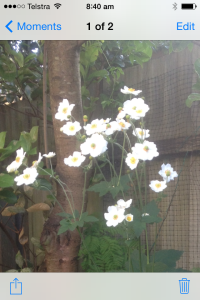 photoJapanese windflowers