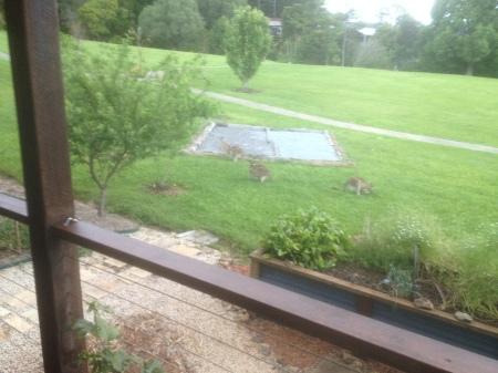 Cavorting Kangaroos at Eco Village