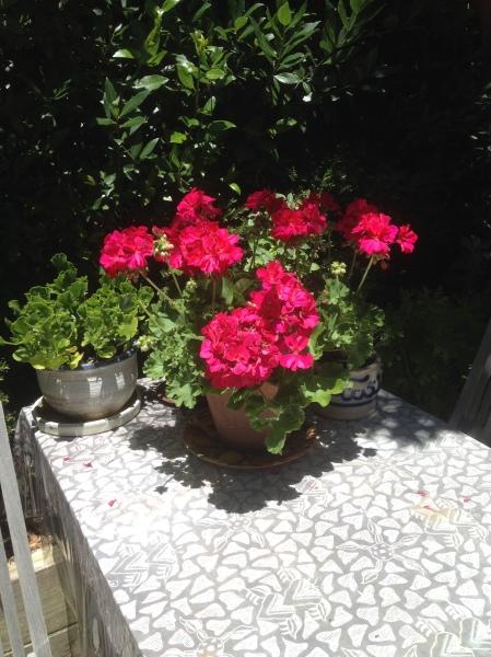 photoThe geranium