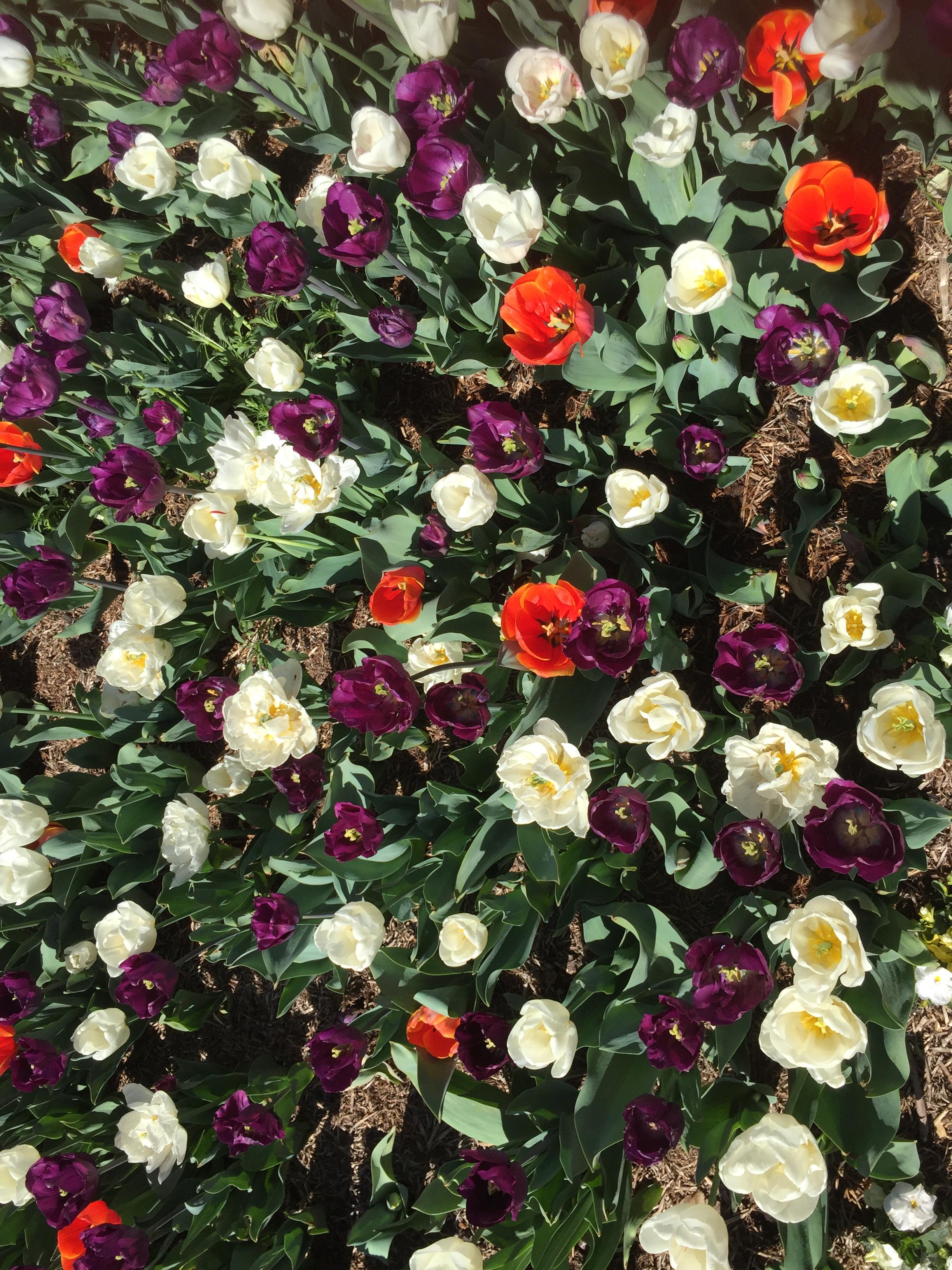 IMG_0126 Tulips.JPG