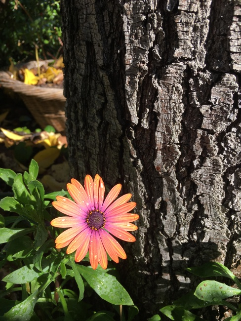 IMG_0128 the daisy as bright.JPG