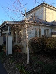 IMG_0235 birch tree