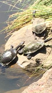 IMG_1183 3 turtles